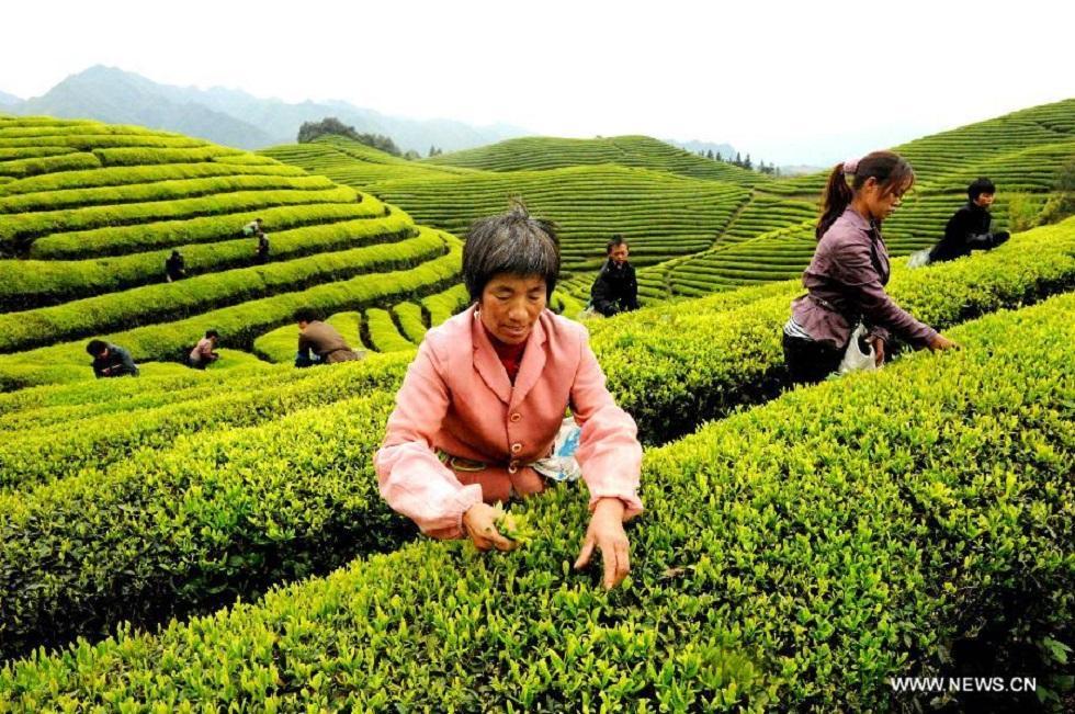 Условия для выращивания чая 94