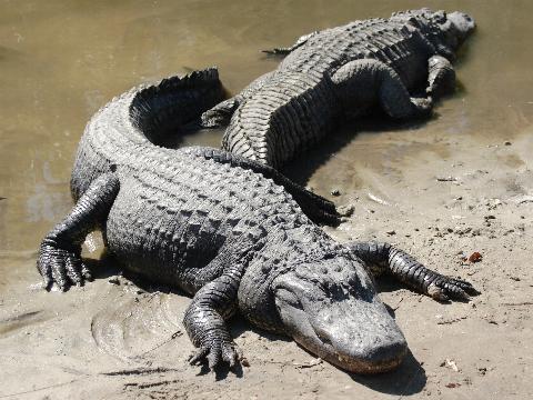 http://www.biriz.biz/hayvansesleri/alligator.jpg
