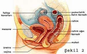 Kadıncinsel organıve işlevi